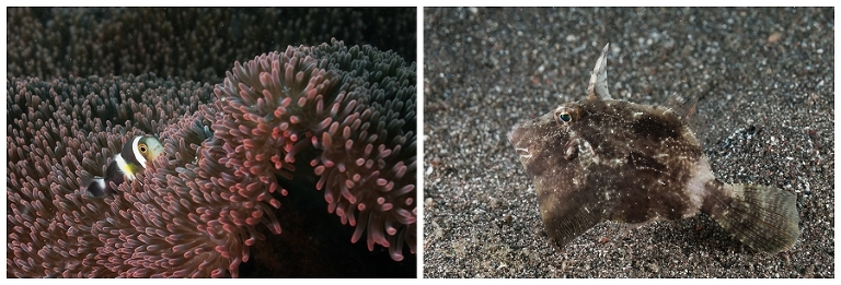 Left: Clownfish Right: Juvenile filefish