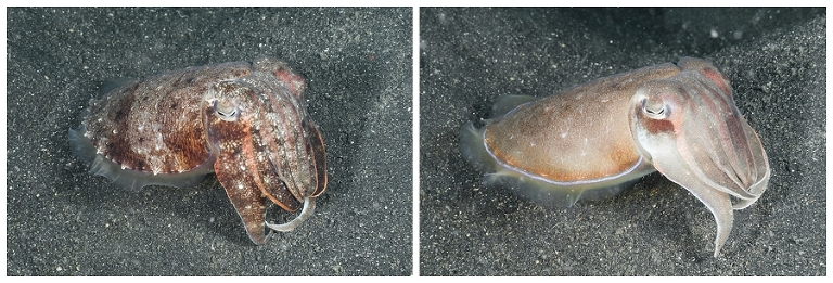 Same cuttlefish taken a couple seconds apart. They change so fast!