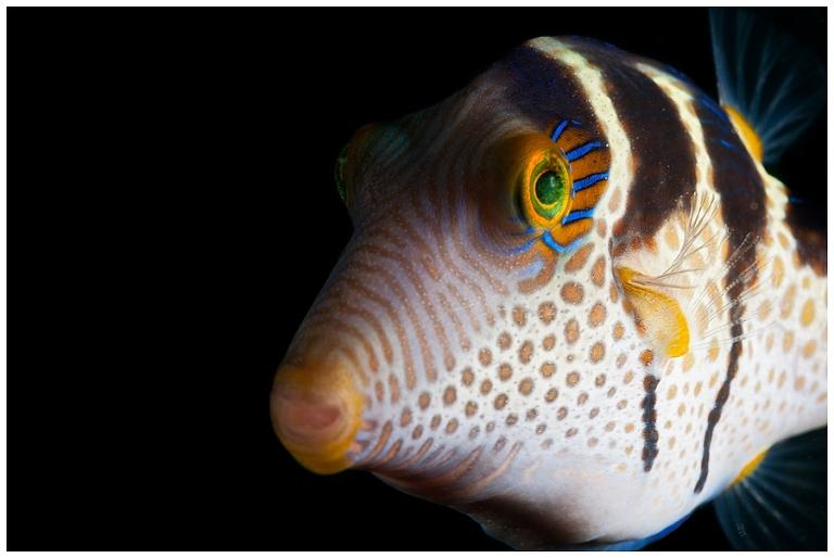 Black-saddled pufferfish