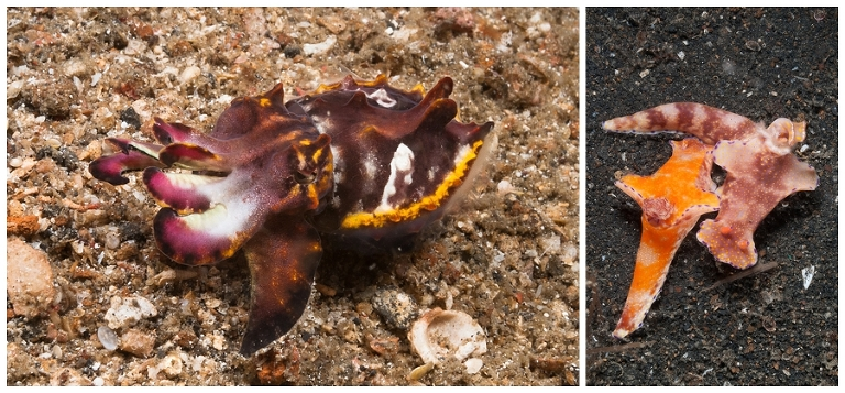 Left: Flamboyant cutttlefish Right: Two nudibranch's mating