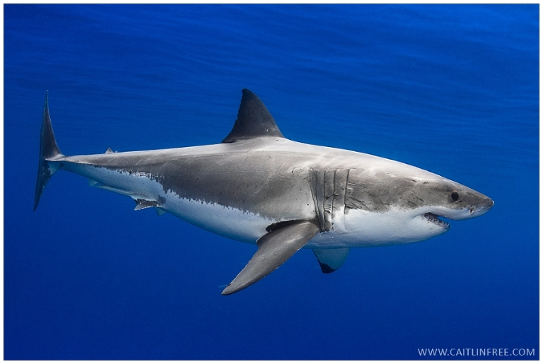 Guadalupe Mexico, Great white sharks